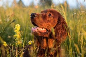 Dog absorbs vitamins from the sun when out walking