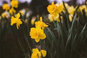 daffodils are poisonous to dogs