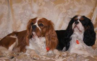 Cavalier King Charles Spaniel Popularity